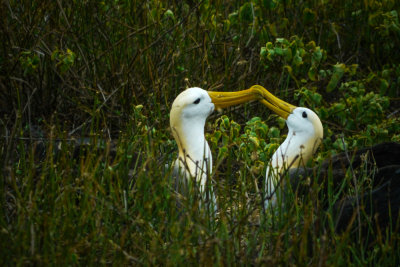 Mating dance, Waved Albatrosses, Punta Suarez,  Espanola Island, The Galapagos, Ecuador, 2012