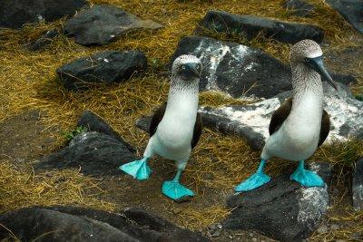 Courtship dance, Blue Footed Boobies, Punta Saurez, Espanola Island, The Galapagos, Ecuador, 2012