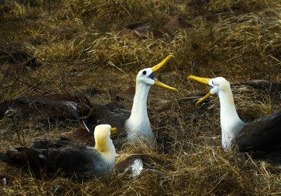 Courting Waved Albatrosses, Punta Saurez, Espanola Island, The Galapagos, Ecuador, 2012