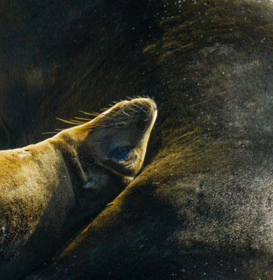 Nursing Sea Lion pup, Gardner Bay, Espanola Island, The Galapagos, Ecuador, 2012