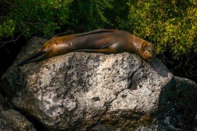 Sleeping Sea Lion, Santa Fe Island, The Galapagos, Ecuador, 2012