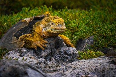 Molting Land Iguana, South Plaza Island, The Galapagos, Ecuador, 2012