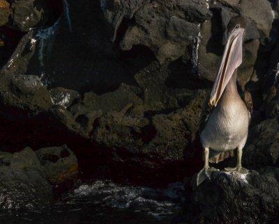 Pelican den, Isabela Island, The Galapagos, Ecuador, 2012