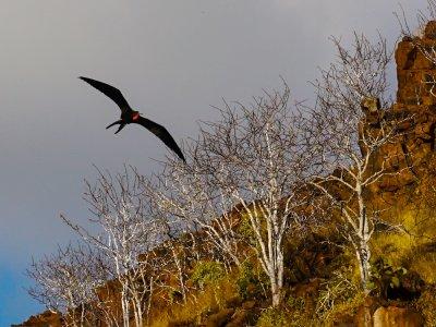 Frigatebird, Punta Carrion, Isabela Island, The Galapagos, Ecuador, 2012