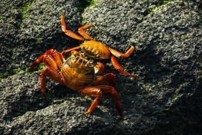 Crab clash, Punta Espinosa, Fernandina Island, The Galapagos, Ecuador, 2012