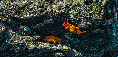 Sally Lightfoot crabs, Urbina Bay, Isabela Island, The Galapagos, Ecuador, 2012