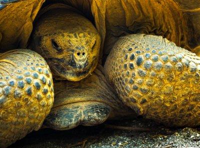 Galapagos Tortoise, Urbina Bay, Isabela Island, The Galapagos, Ecuador, 2012