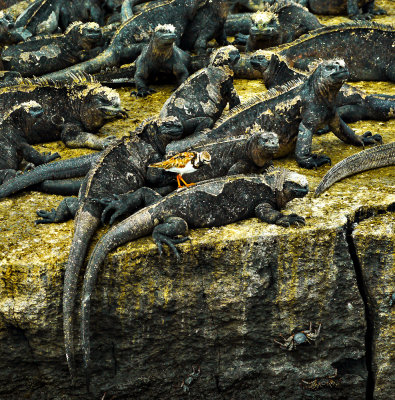 A Ruddy Turnstone takes a ride on a Marine Iguana, Punta Moreno, Isabela Island, The Galapagos, Ecuador, 2011