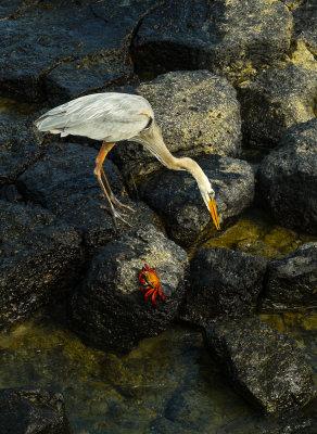 Great Blue Heron and Sally Lightfoot crab, Puerto Ayora Harbor, Santa Cruz Island, The Galapagos, Ecuador, 2012