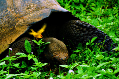 Yellow Warbler monitoring the lunch of a Galapagos Tortoise, El Chato, Santa Cruz Island, The Galapagos, Ecuador, 2012