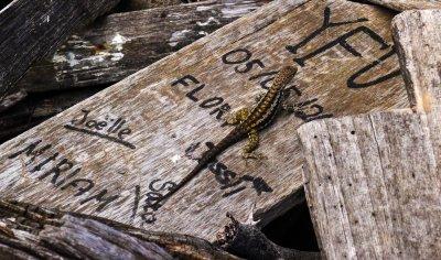 Lava Lizard roaming the grafitti at Post Office Bay, Floreana Island, The Galapagos, Ecuador, 2012