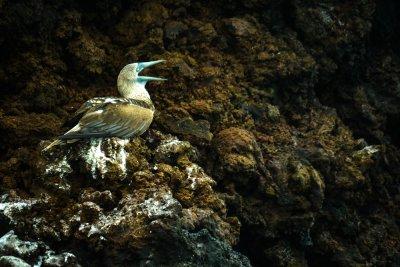 Whistling Blue Footed Booby, Punta Cormorant, Floreana Island, The Galapagos, Ecuador, 2012