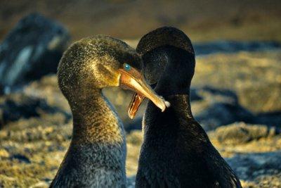 Mating Flightless Cormorants, Punta Espinosa, Fernandina Island, The Galapagos, Ecuador, 2012