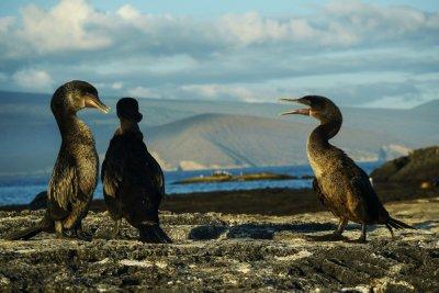 Mating debate, Flightless Cormorants at Punta Espinosa, Fernandina Island, The Galapagos, Ecuador, 2012