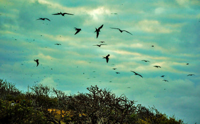 Bird storm, Seymour Island, The Galapagos, Ecuador, 2012