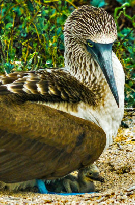 Mother and chick, Seymour Island, The Galapagos, Ecuador, 2012