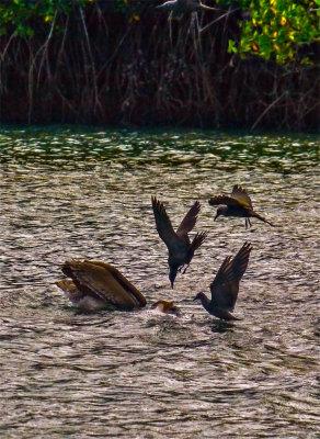 Scavengers at work, Black Turtle Cove, Santa Cruz Island, The Galapagos, Ecuador, 2012