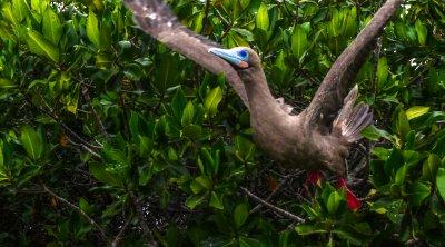 Red footed Booby takes flight, Darwin Bay, Genovesa Island, The Galapagos, Ecuador, 2012