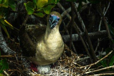 Assertive Red Footed Booby and chick, Darwin Bay, Genovesa Island, The Galapagos, Ecuador, 2012