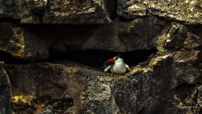 Red-billed Tropicbird, Darwin Bay, Genovesa Island, The Galapagos, Ecuador, 2012