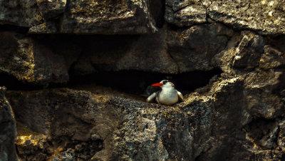 Red-billed Tropicbird, Darwin Bay, Genovesa Island, The Galapagos, Ecuador, 2012