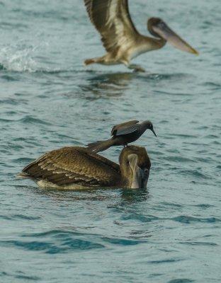 Waiting for a meal, Black Turtle Cove, Santa Cruz Island, The Galapagos, Ecuador, 2012