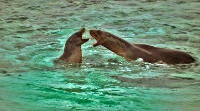 Argument in the surf, Mosquera Island ,The Galapagos, Ecuador, 2012