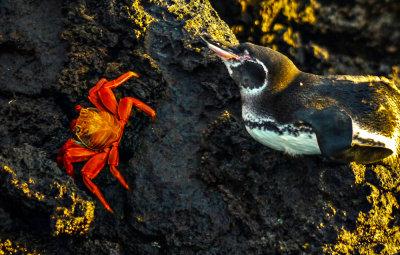 The crab and the penguin, Santiago Island, The Galapagos, Ecuador, 2012