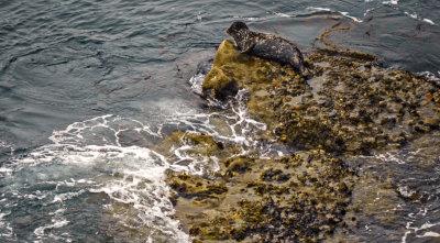 California Harbor Seal, Point Lobos State Natural Reserve, Carmel, California, 2012