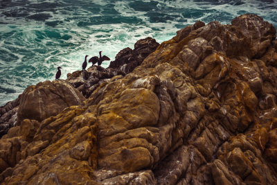 Brandt's Cormorants, Point Lobos State Natural Reserve, Carmel, California, 2012