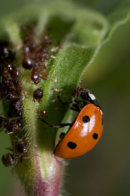 Ladybug, Aphids, and Ants - Part III