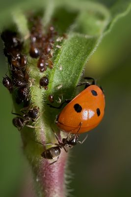Ladybug, Aphids, and Ants - Part IV
