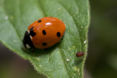 Ladybug, Aphids, and Ants - Part X