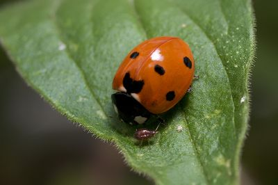Ladybug, Aphids, and Ants - Part IX