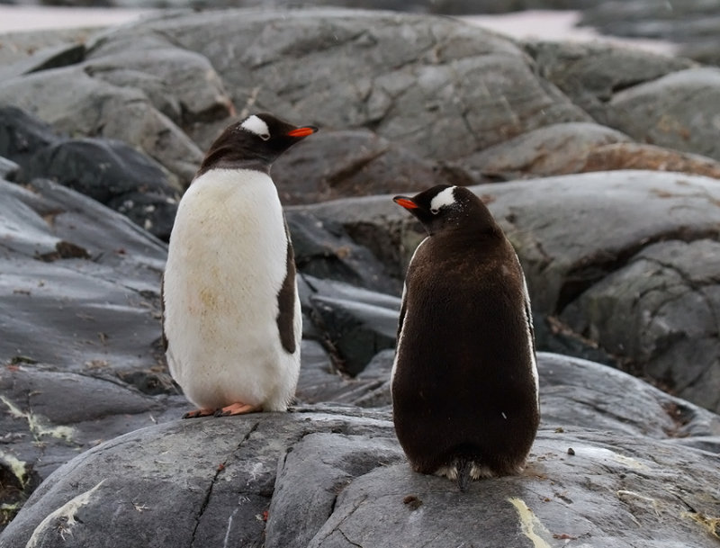 Gentoo-pair-IMG_1905-Peterman-Island-11-March-2011.jpg
