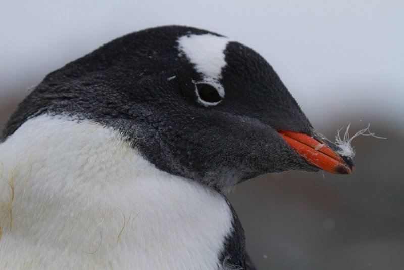 Gentoo-head-shot-with-feather-on-bill-IMG_2361-Peterman-Island-11-March-2011.jpg