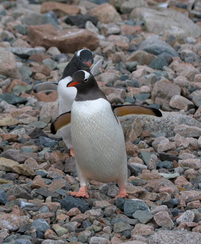Gentoos-waddle-down-to-the-beach-IMG_4889-Orne-Bay-13-March-2011.jpg