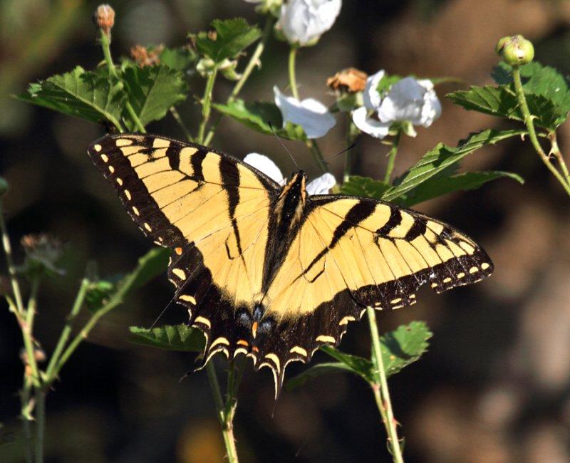EasternTiger Swallowtail (Texas USA)