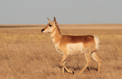Pronghorn (Colorado USA)