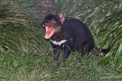 Tasmanian Devil (Australia)