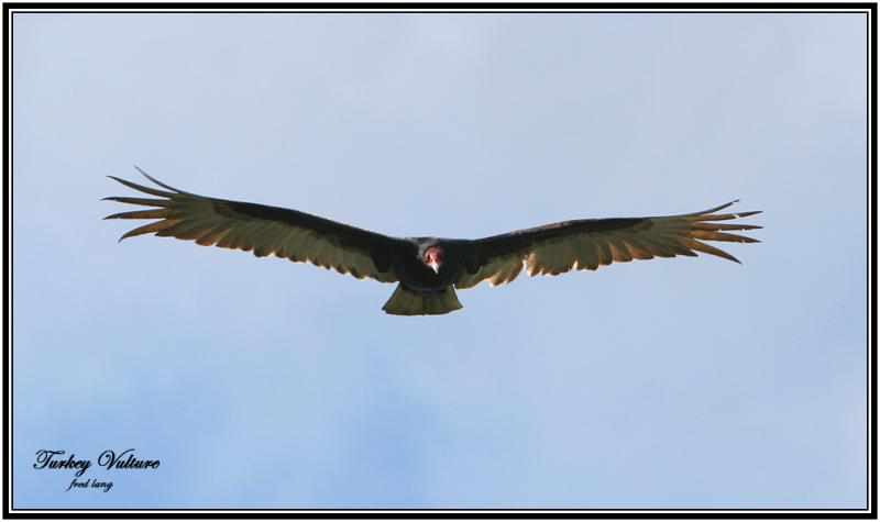 Turkey Vulture - 1