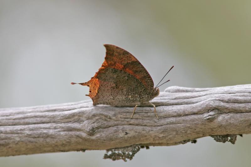 Dusky Leafwing
