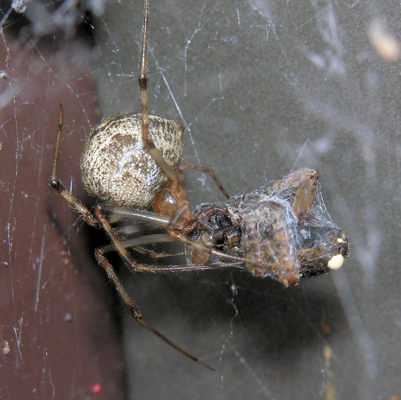 Parasteatoda tepidariorum - Common House Spider