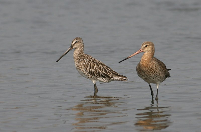 Asian Dowitcher & Black-tailed Godwit