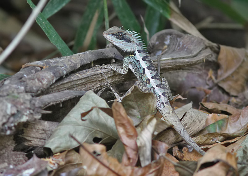 Forest Crested Lizzard