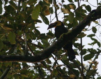 Sulawesi Dwarf Hornbill
