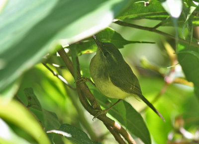 Mountain Tailorbird, immature