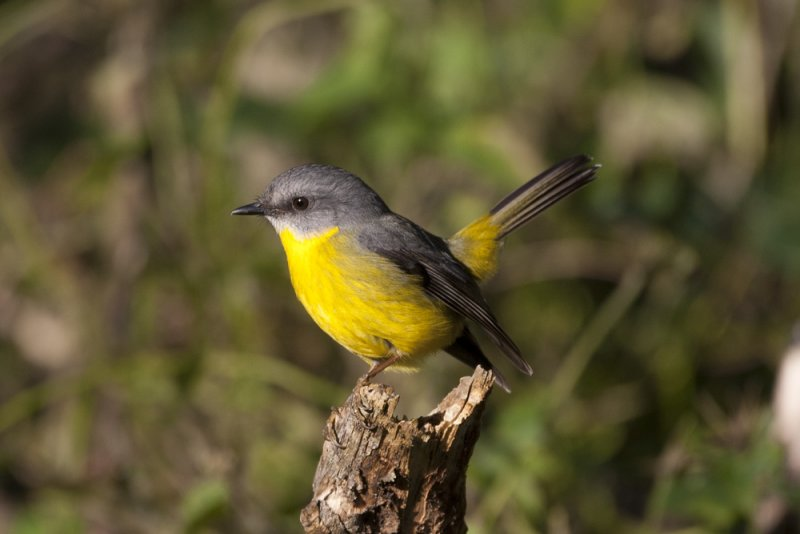 Eastern Yellow Robin 8816b.jpg