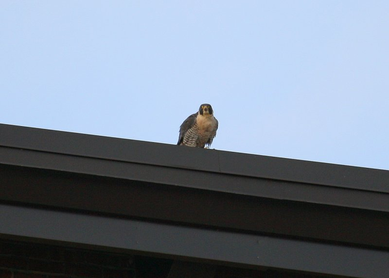 Peregrine: south side roof of NB Bldg.