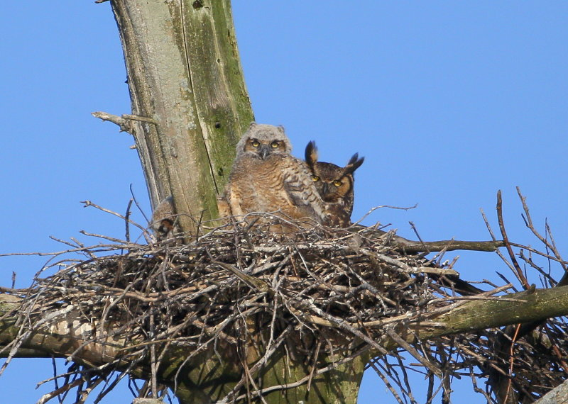 Great Horned Owl: mother and owlet